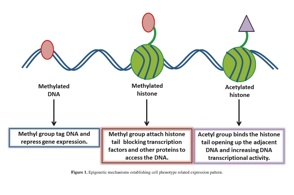 gentle makeover epigenetic conversion of one cell into