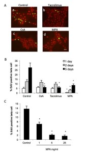 Figure 3. Immunosuppressive drugs inhibit beta cell proliferation. Islet cells were attached on culture dishes during 24h. Then cells were cultured for additional 1-5 days with EdU in presence or not of CsA, tacrolimus or MPA, at the concentration indicated. Cells were fixed and replication in beta cells was determined by EdU incorporation and PDX1 immnunofluorescence. A, fluorescence microscopic views of cells labelled for EdU (green) and PDX1 (red), bar = 20 μm. B-D, bar graphs showing the quantifications of EdU positive beta cells, mean ± SEM, n=3-5; *p < 0.05 vs. control.