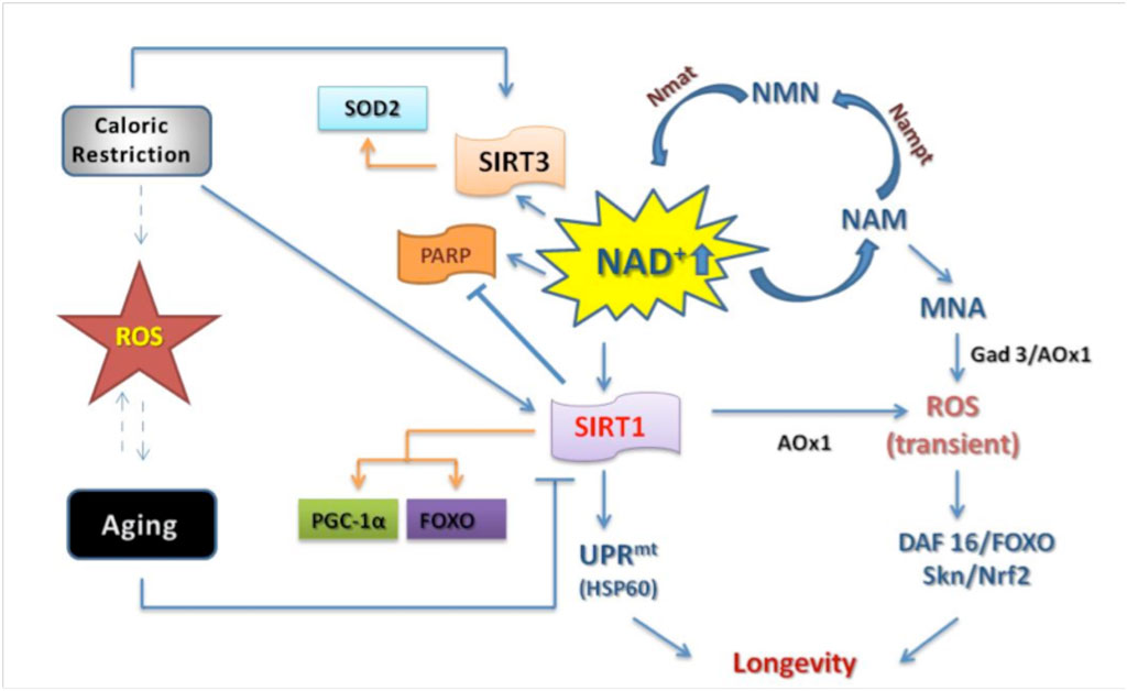 cellular repair and reversal of aging the role of nad